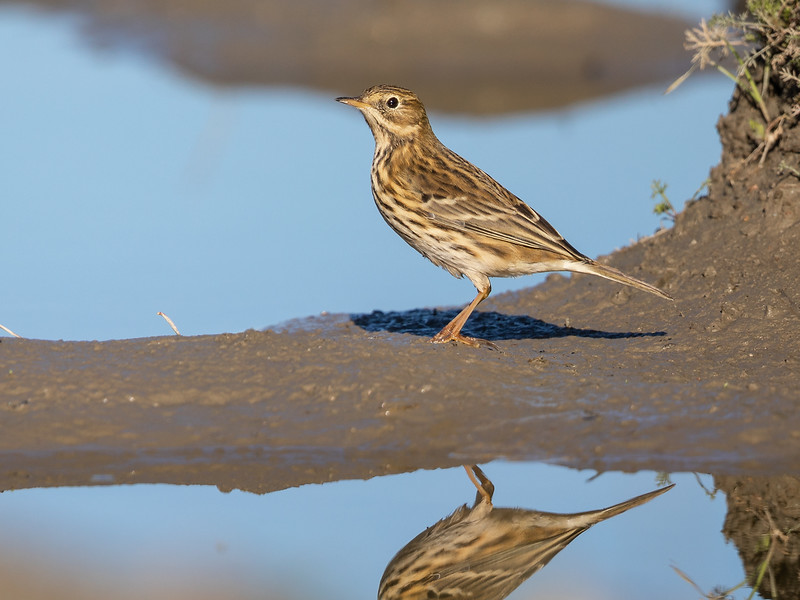 Heipiplerke / Meadow Pipit<br /> Huseby, Lier 30.9.2018<br /> Canon Mark IV + Canon EF 500mm f/4L IS II USM + 1.4x Ext