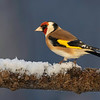 Stillits / European Goldfinch<br /> Linnesstranda, Lier 3.1.2021<br /> Canon 5D Mark IV + EF 500mm f/4L IS II USM