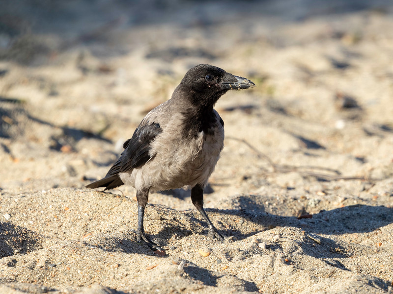 Kråke / Hooded Crow<br /> Hyggen, Asker 3.7.2021<br /> Canon EOS R5 + EF 500 mm F/4 L + 1.4x Ext