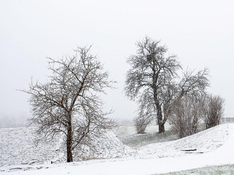 Epletrær i Åmotvegen<br /> Lier, 26.12.2020