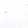 Sangsvane / Whooper Swan<br /> Vikersund, Modum 10.1.2021<br /> Canon  5D Mark IV + EF 500mm f/4L IS II USM + 1.4x Ext