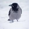 Kråke / Hooded Crow<br /> Elveparken, Drammen 19.2.2021<br /> Canon EOS R5 + EF 500 mm F/4 L + 1.4x Ext