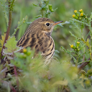 Heipiplerke / Meadow Pipit<br /> Huseby, Lier 16.9.2018<br /> Canon Mark IV + Canon EF 500mm f/4L IS II USM + 1.4x Ext