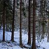 Granskog foran / Pines in front<br /> Øverskogen, Lier 6.2.2021<br /> Canon EOS R5 + RF24-105mm F4 L IS USM