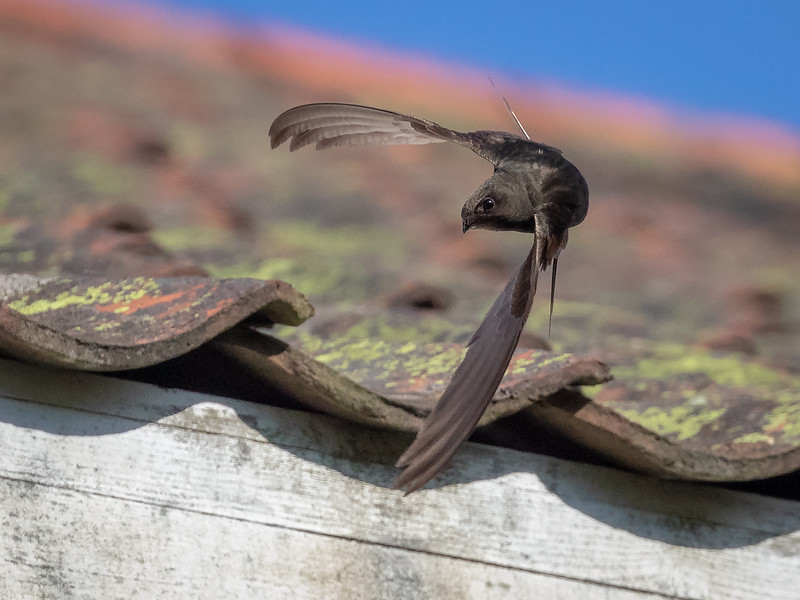 Tårnseiler / Common Swift <br /> Holtnes, Hurum 8.7.2018<br /> Canon 7D Mark II + EF 100-400mm f/4.5-5.6L IS II USM