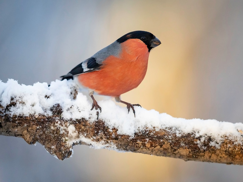 Dompap / Eurasian Bullfinch <br /> Linnesstranda, Lier 3.1.2021<br /> Canon 5D Mark IV +  500mm f/4L IS II USM