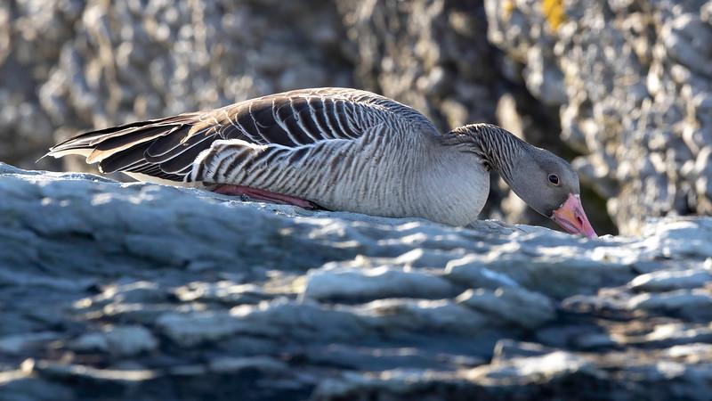 Grågås / Greylag Goose<br /> Oslofjorden, Viken 30.3.2021<br /> Canon EOS R5  + 500mm f/4L IS II USM + 1.4x Ext