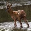 Rådyr / Roe Deer<br /> Linnesstranda, Lier 2.7.2021<br /> Canon EOS R5 + EF 500mm f/4L IS II USM + 1.4x Ext