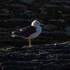 Sildemåke / Lesser Black-backed Gull<br /> Oslofjorden, Viken 30.3.2021<br /> Canon  EOS R5 + EF 500mm f/4L IS II USM + 1.4x Ext