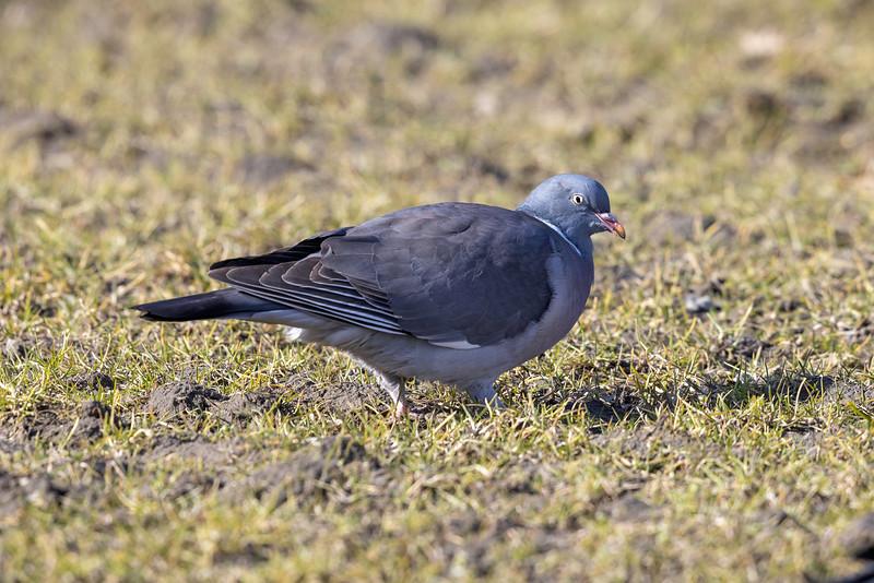 Ringdue / Common Wood-Pigeon <br /> Linnesstranda, Lier 10.4.2021<br /> Canon EOS R5 + Canon EF 500mm f/4L IS II USM + 2x Ext