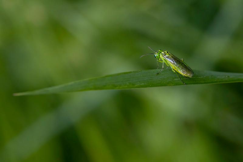 Bladveps / Rhogogaster viridis<br /> Kulberg, Lier 13.6.2021<br /> Canon EOS R5 + EF 100mm f/2.8L Macro IS USM