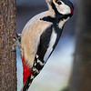Flaggspett / Great Spotted Woodpecker<br /> Linnesstranda, Lier 25.12.2020<br /> Canon 5D Mark IV +  EF 500mm f/4L IS II USM + 1.4x Ext
