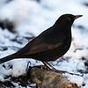 Svarttrost / Eurasian Blackbird<br /> Linnesstranda, Lier 3.1.2021<br /> Canon 5D Mark IV + EF 500 mm 4.0 L
