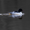 Laksand / Common Merganser <br /> Engervannet, Bærum 29.3.2021<br /> Canon EOS R5  + EF 500 mm f/4L IS II + 1.4 x Ext