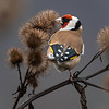 Stillits / European Goldfinch<br /> Hyggen, Asker 5.12.2020<br /> Canon 5D Mark IV + EF 500mm f/4L IS II USM + 1.4x Ext