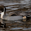 Stjertand / Northern Pintail<br /> Fjordparken, Drammen 26.12.2019<br /> Canon 5D Mark IV + Canon EF 500mm f/4L IS II USM + 1.4x Ext III
