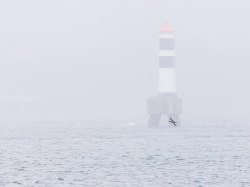 Sjørre / Velvet Scoter<br /> Drøbaksundet, Oslofjorden 29.3.2021<br /> Canon  5D Mark IV + EF 500mm f/4L IS II USM + 1.4x Ext
