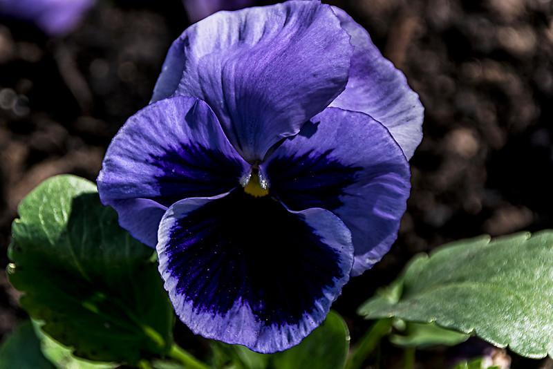 Viola Purple Face