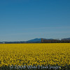 Daffodils blooming, Skagit Valley