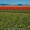 Skagit Valley Tulip Festival 2007