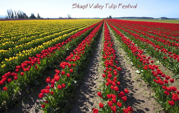 Skagit Valley Tulip Festival, Washington State