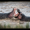 Hippo fight in the Mara River, Maasai Mara National Reserve, Kenya.