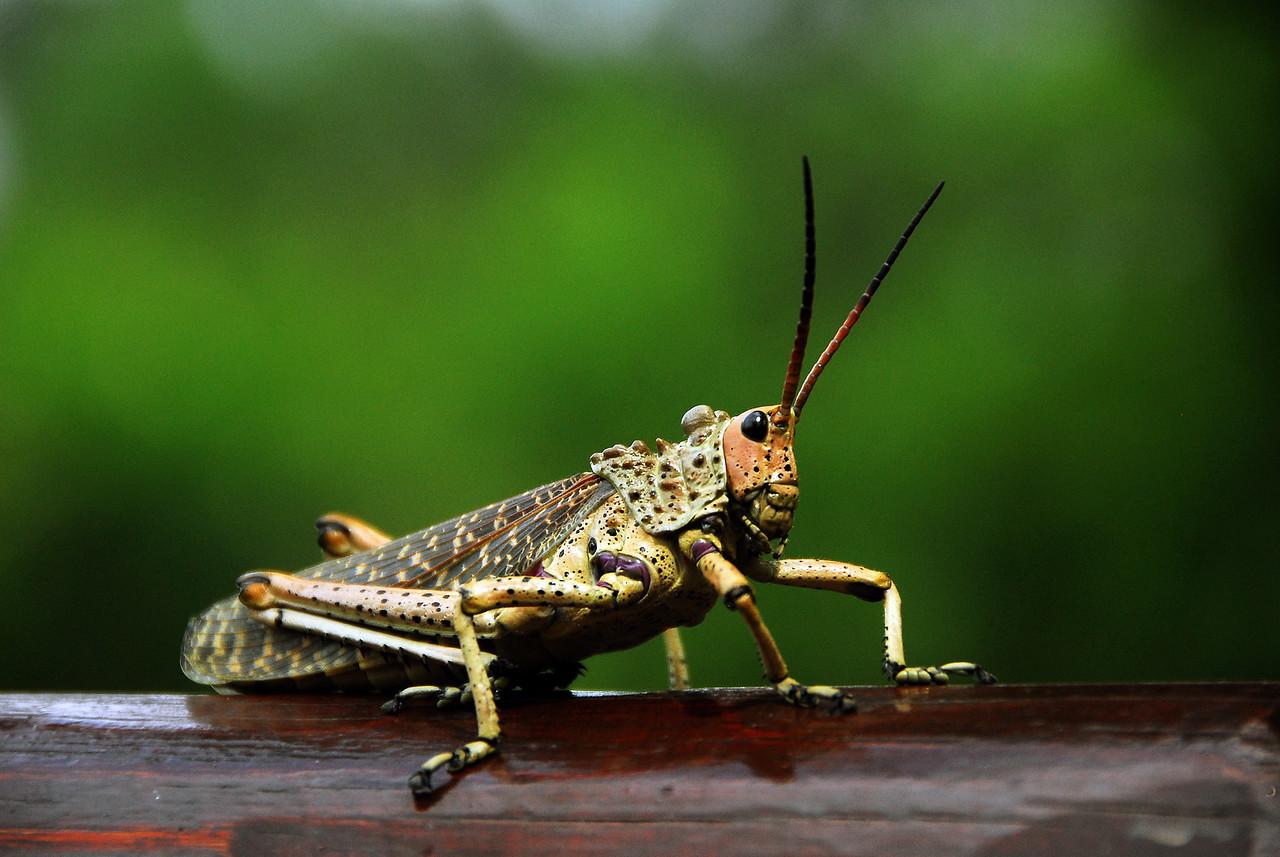 Grasshopper, Mkuze Falls private game reserve, Kwa-Zulu Natal, South Africa.