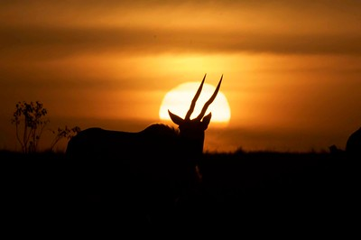 Eland at Sunset, Kenya.