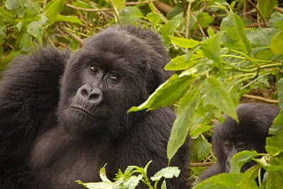 Mountain gorillas, Virunga National Park, Rwanda.