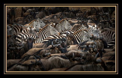 Zebras and wildebeests massing to cross the Mara River, Maasai Mara National Reserve, Kenya.