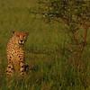 Cheetah, Kwa-Zulu Natal, South Africa.