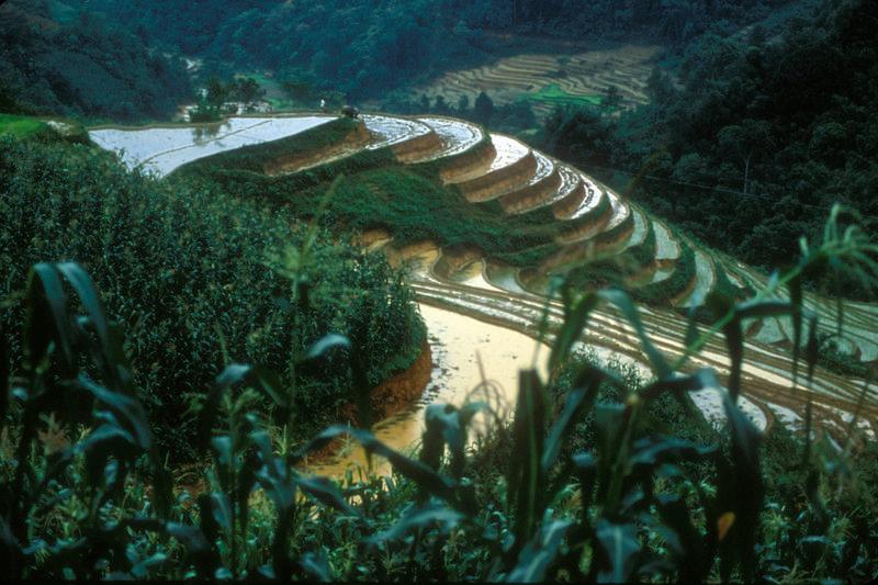 Rice terrace, man and bullock, near Sa Pa, Vietnam.