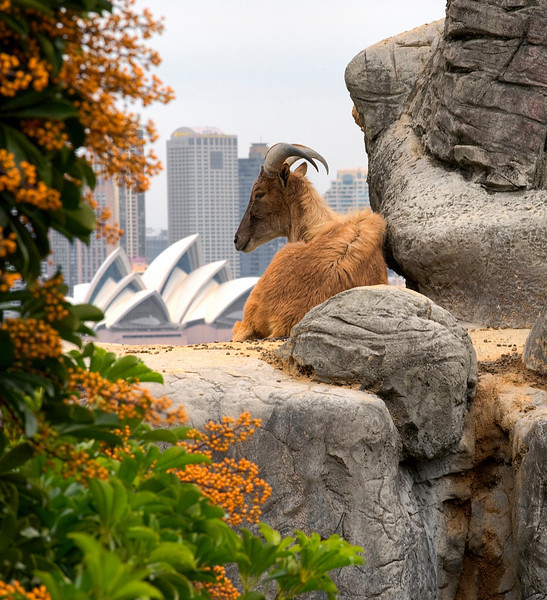 Ram with a view, Sydney.