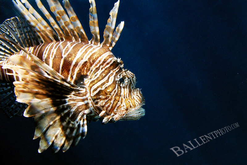 "Lion Fish - Pterois volitans. More images are available at the <a href=""http://www.ballentphoto.com/gallery/2188242"">Hawaii 2006 Gallery</a>"