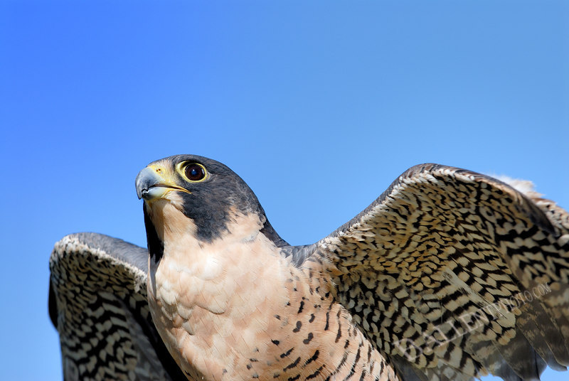 """Peregrine falcon with blue sky. More images are available at the <a href=""""http://www.ballentphoto.com/gallery/2044605"""">Animals Gallery</a>"""