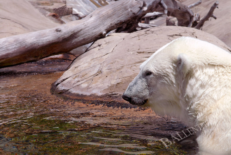 """Polar bear in his """"pool"""" More images are available at the <a href=""""http://www.ballentphoto.com/gallery/1944971"""">Interesting Items Gallery</a>"""