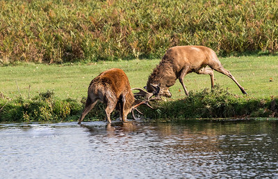 Two Red Deer stags rutting
