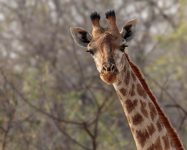 Female Giraffe