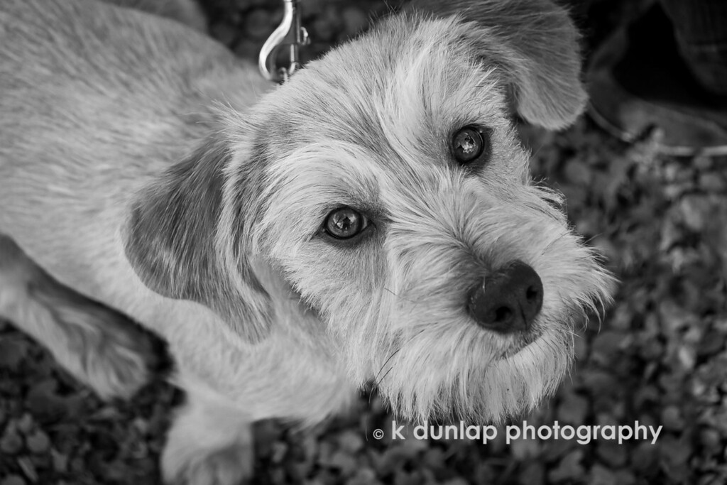 """10.21.14 = Friends<br /> <br /> Say hello to Hugo! He's my friend Kyla's little rescue mutt. What a face!<br /> <br /> """"A friend is one of the nicest things you can have, and one of the best things you can be.""""  ~Douglas Pagels<br /> <br /> <br /> *The FORTH in the series of five in the black & white challenge.  Today I challenge Tatiana Eldersister to the B&W challenge."""