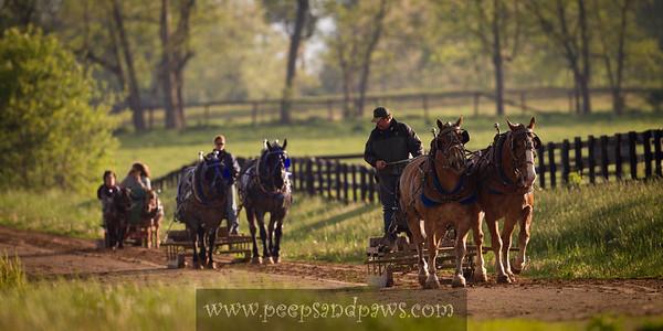 Working the draft horses at Full Circle Farm