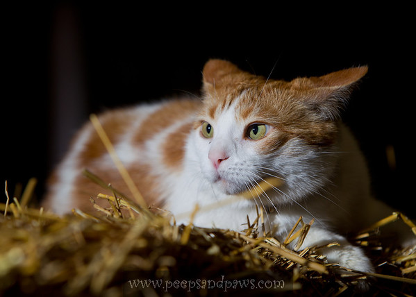 Henny Hughes, the cat, in the broodmare barn at Shadwell.