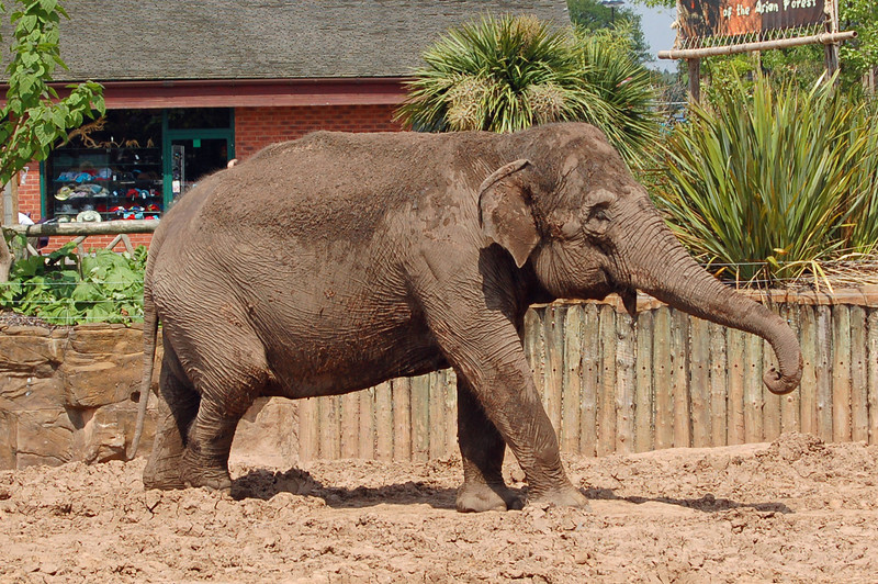 Asian Elephant at Chester Zoo