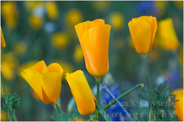 Bartlett Lake, AZ/Mar. Close up of gold poppies; Bartlett Lake North of Phoenix.<br /> wildflowers; poppies; desert; yellow; spring