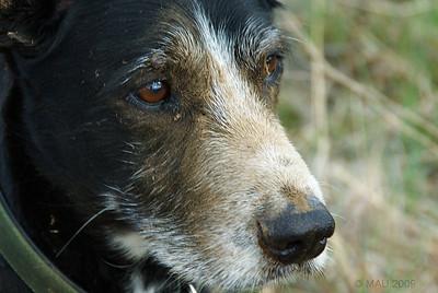 Puli, mi perro. Después de haber estado buscando topos en el paseo de esta tarde.