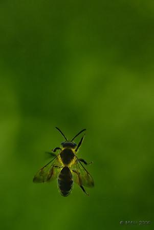 ¿Por qué demonios no puedo salir de aquí? - Se pregunta la abeja mientras escala una y otra vez el cristal de la ventana.<br /> <br /> Why the heck can't I get out of here? - Wonders the bee while climbing one more time the window's pane.