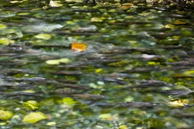 Salmon Hatchery-0327