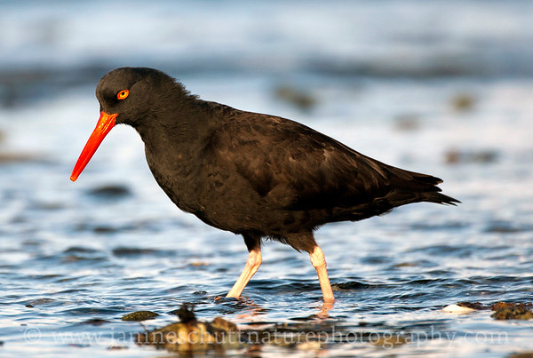 Black Oystercatcher at Fort Flagler State Park near Port Townsend, Washington.