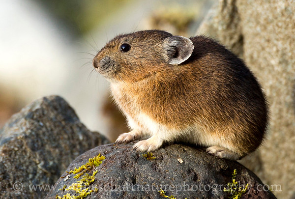 American Pika.  Photo taken by the Nisqually River at Longmire, Mt. Rainier National Park in Washington.