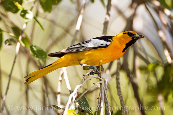 Male Bullock's Oriole with a grub for its young.  Photo taken at Hood Park in Burbank, Washington.