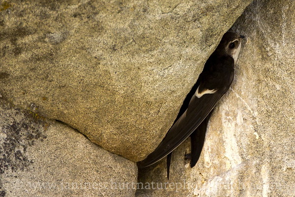 White-throated Swift preparing to exit its nest.  Photo taken at Peshastin Pinnacles State Park near Cashmere, Washington.